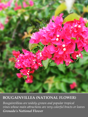 bouganvilla flower